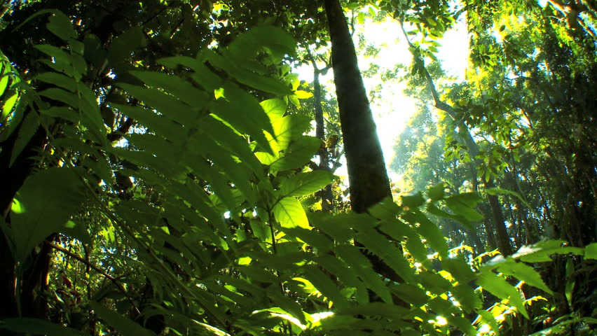 Sunlight filtering onto verdant green rainforest fauna  with audio - HD stock video clip