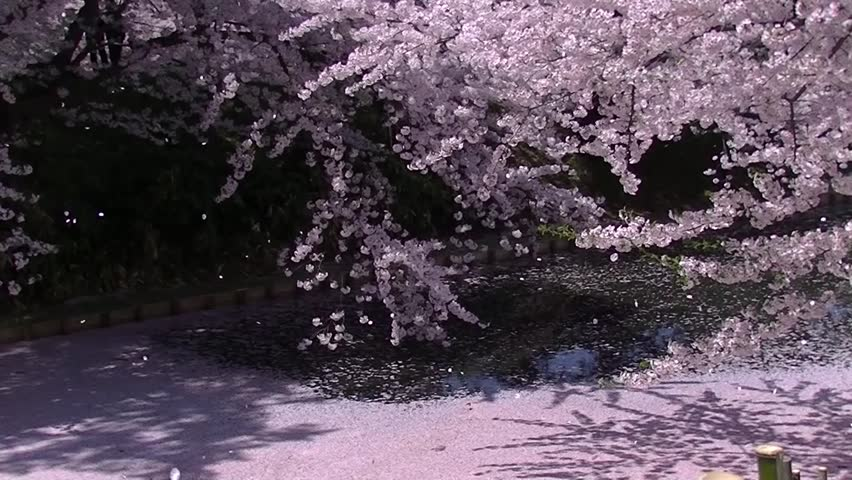 Spring in Japan. Cherry blossom petals falling down on the streaming water. Hirosaki Park, Japan 2014 - HD stock footage clip