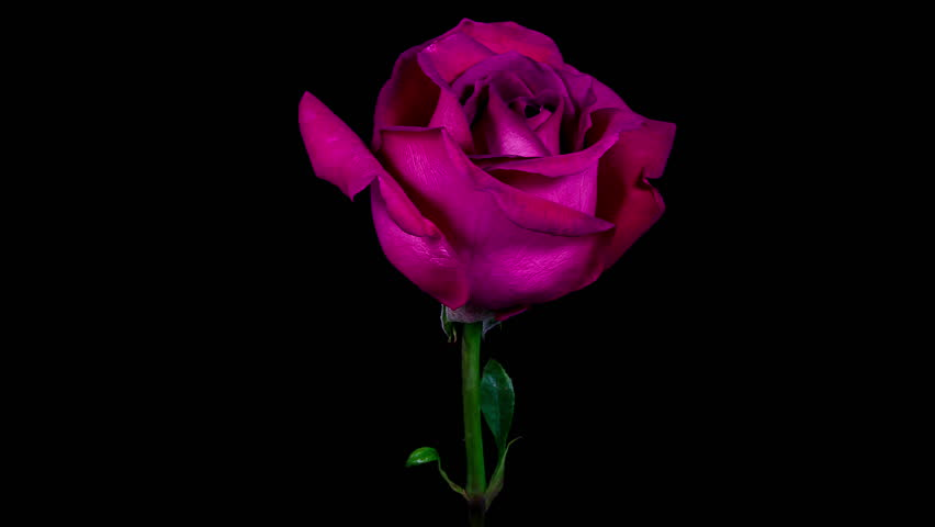 Timelapse Of A Purple Rose Flower Blooming And Fading On ...