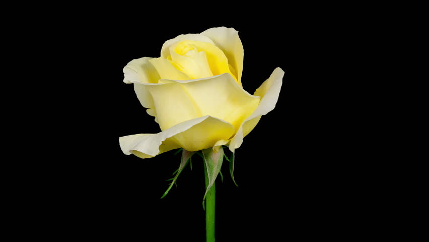 Timelapse Of A Yellow Rose Flower Blooming On Black ...
