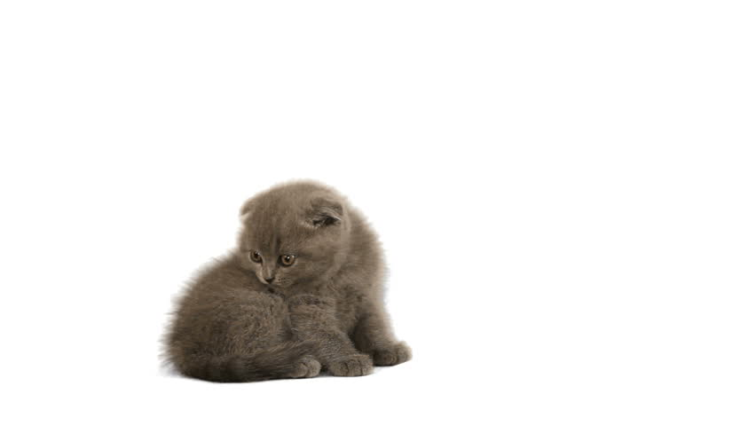 savannah kittens for sale in pa