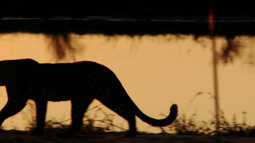 A leopard is silhouetted by the setting sun as it walks along a waterhole - HD stock footage clip