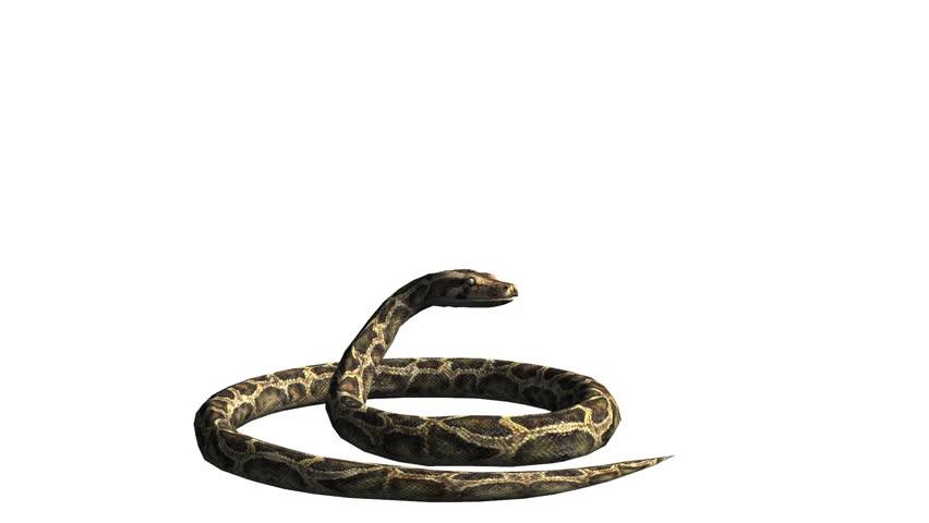 Snake & jungle carpet python attack,sliding decorative non venomous,wild animal herpetology background. cg_01928 - HD stock footage clip