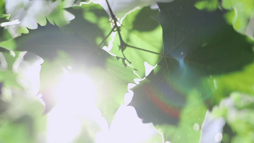Sunlight breaching through some large leaves to reveal lens flares and rays of light from the leaf. | Shutterstock HD Video #6806074