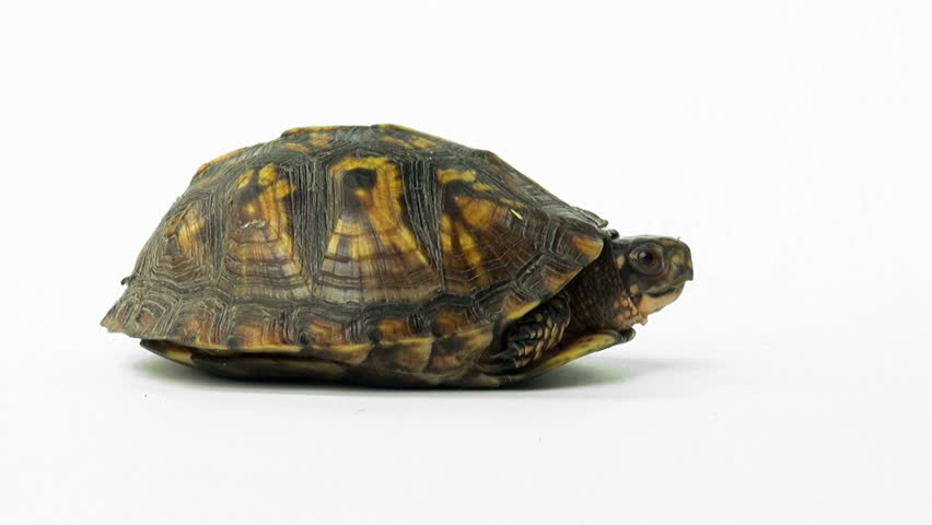 eastern box turtle on a white background stock footage