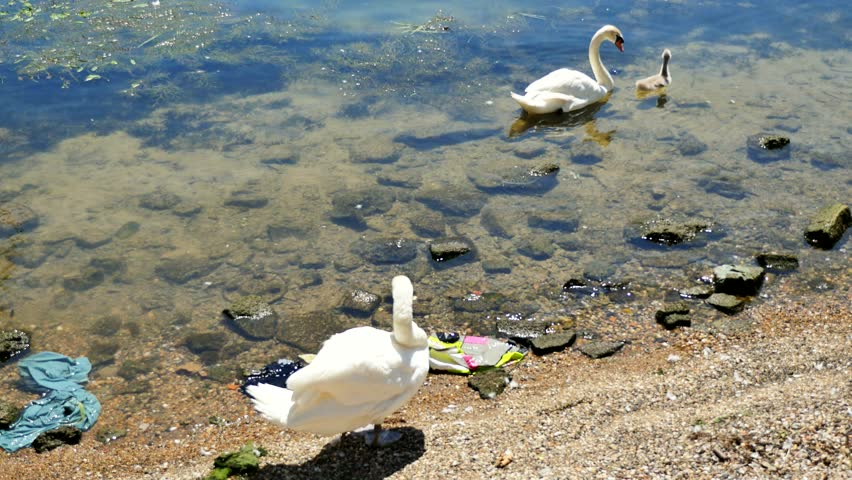 Pen swan preening her wings while a cob swan and a cygnet swimming together at the water's edge, Paris, France, - 4K stock video clip