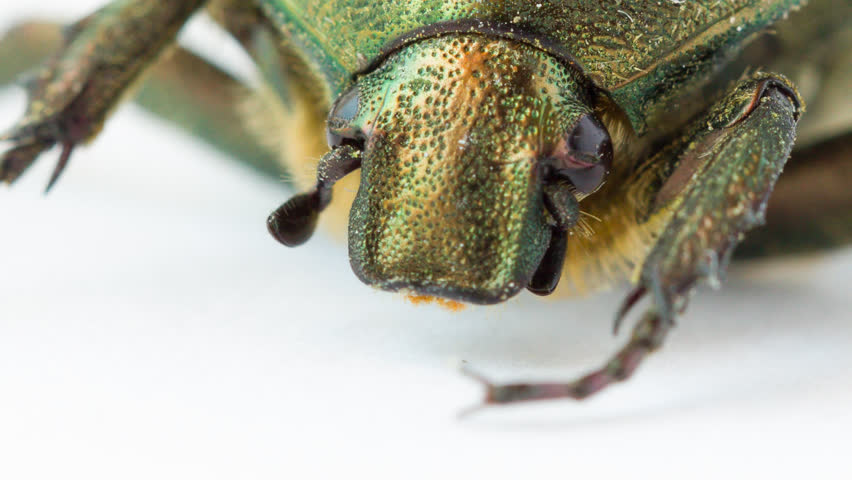 Extreme closeup view of green beetle (Cetonia Aurata) over white
