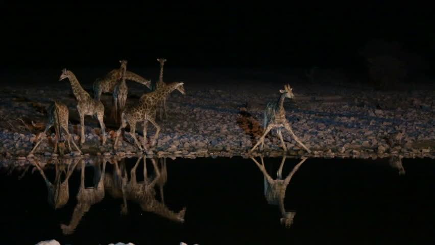 Symmetric Group of Frightened Giraffes and hyena in waterhole with tourist murmur