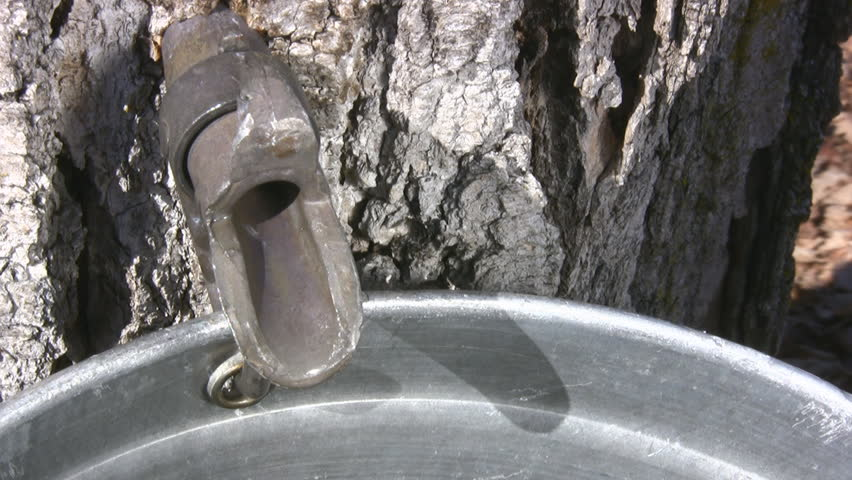 Dripping Sap Close Of A Maple Tree Tap For Collecting Maple Sap - HD stock footage clip