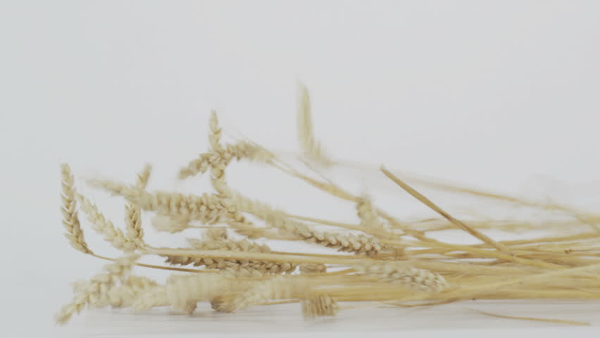 golden wheat on the white background slow motion