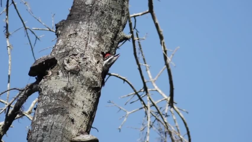 pileated woodpecker feeds chicks - HD stock footage clip