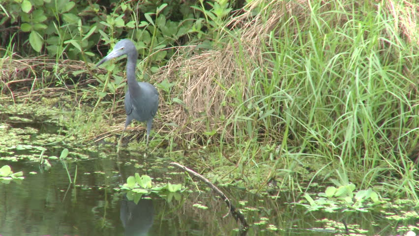 Little Blue Heron (3 of 3) - HD stock video clip