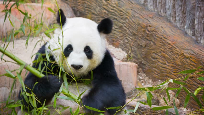 Two Young Pandas Having Fun Stock Footage Video 6155306