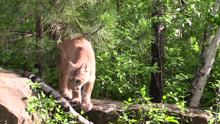 Cougar bush