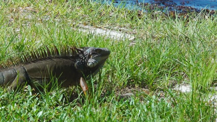 Common green iguana iguana iguana is an invasive species for Invasive fish in florida