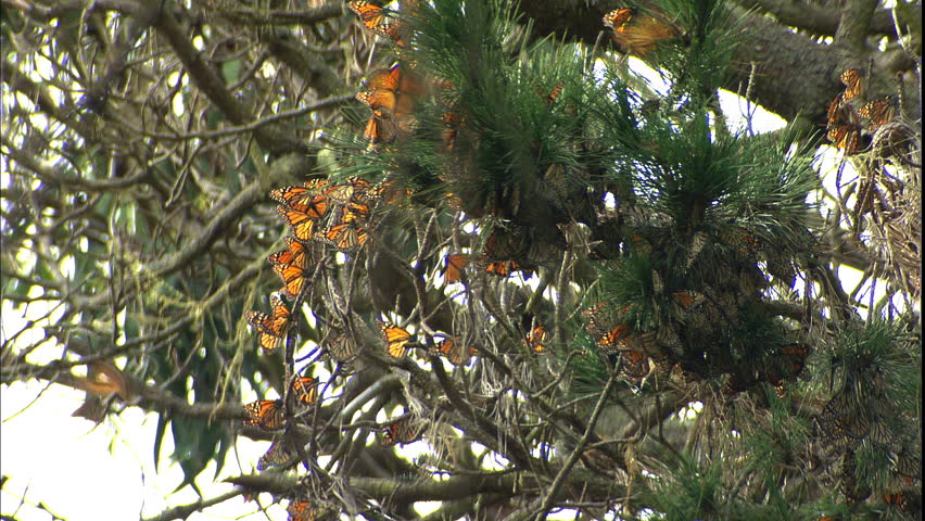 A large group of butterflies hang together in a tree - HD stock video clip