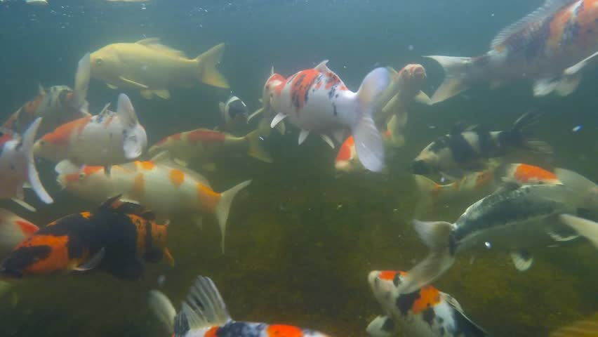 1920x1080 hidef hdv japanese carps fish in big pond for Koi pond hd