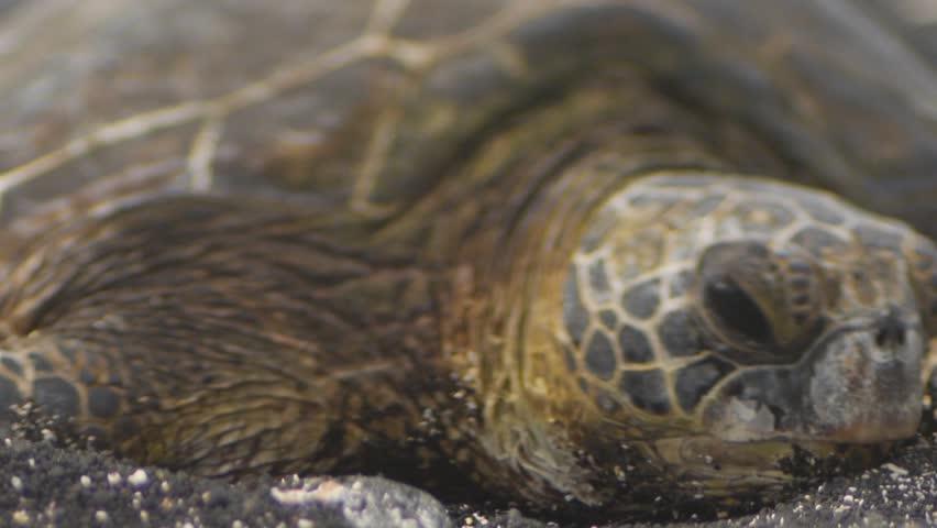 Kiholo Bay, Hawaii - June, 2014 - Close up of a sea turtle.