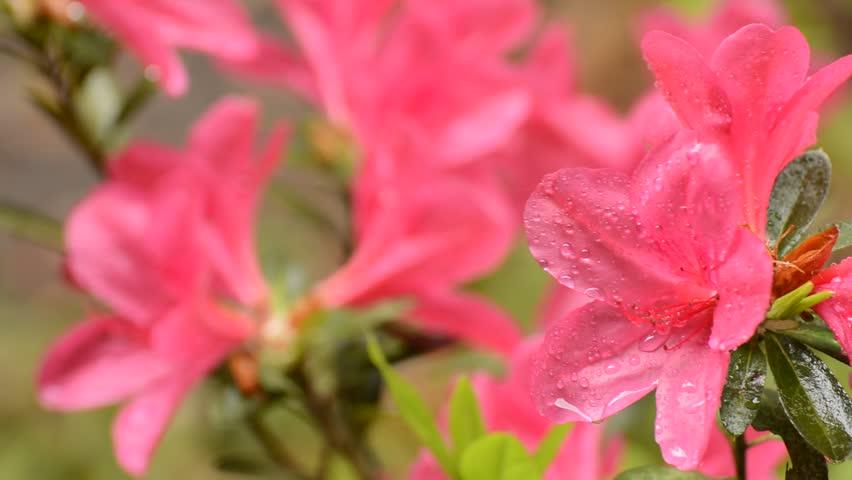 Bright pink azalea blossoms wet with rain - HD stock video clip