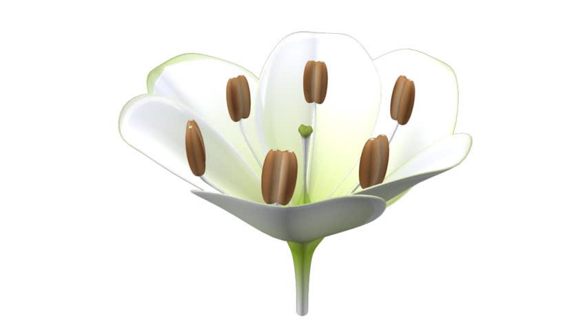Header of Allium cepa