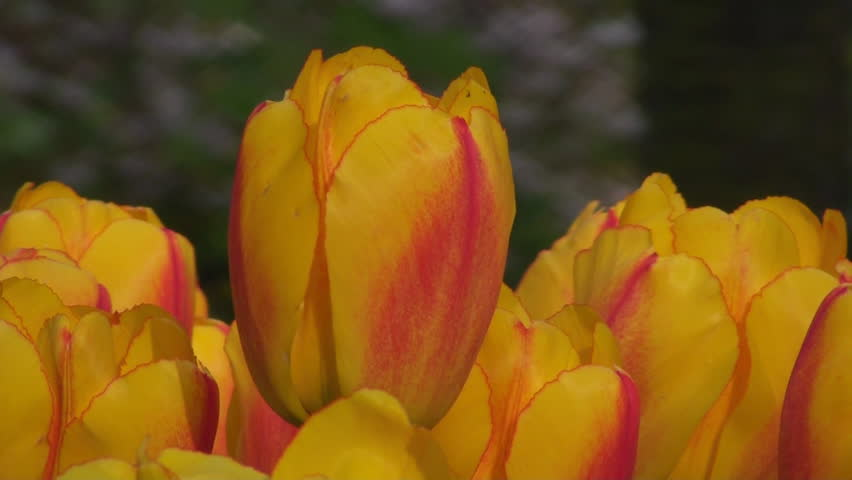 Yellow tulips - HD stock footage clip