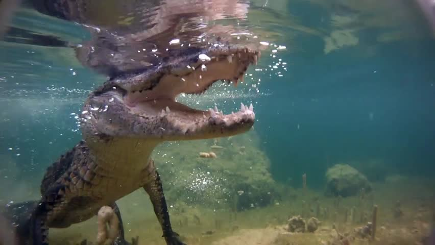 An alligator thrashes underwater and catches a fish.