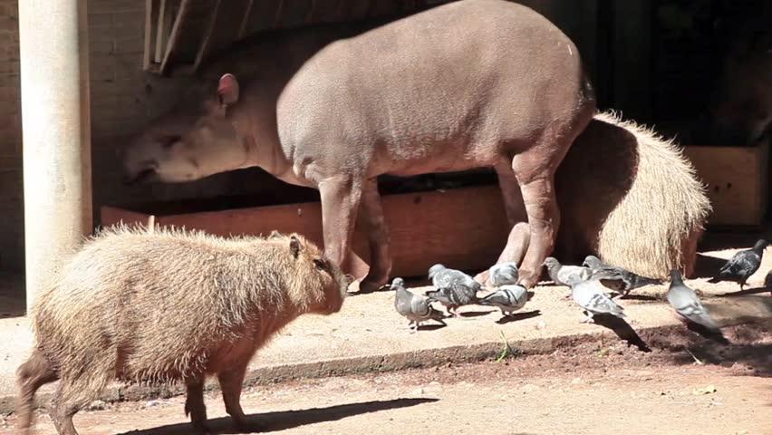Video clip of capybara (Hydrochoerus hydrochaeris) and South American tapir (Tapirus terrestris) eating at the Zoo.