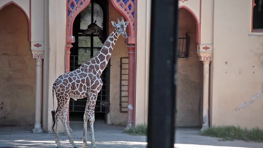 Video clip of giraffe at zoo. 35 mm shot.