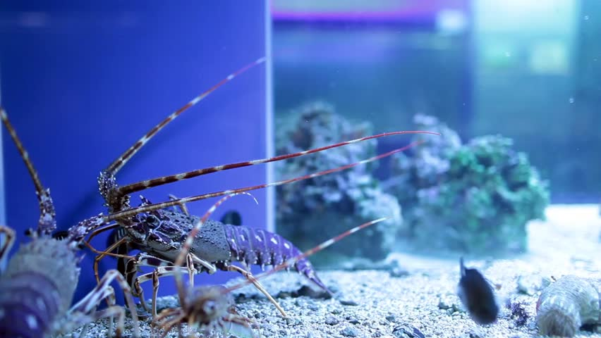 Video clip of blue lobsters in a fish tank.