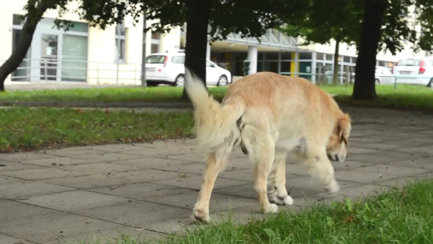 dog walks in the park - street with cars and buildings in background  - HD stock footage clip