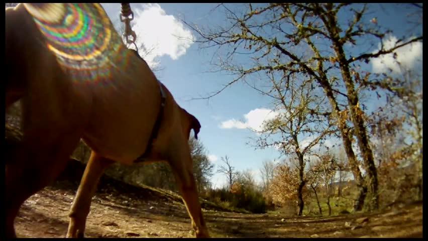 walking a mixed shar-pei dog