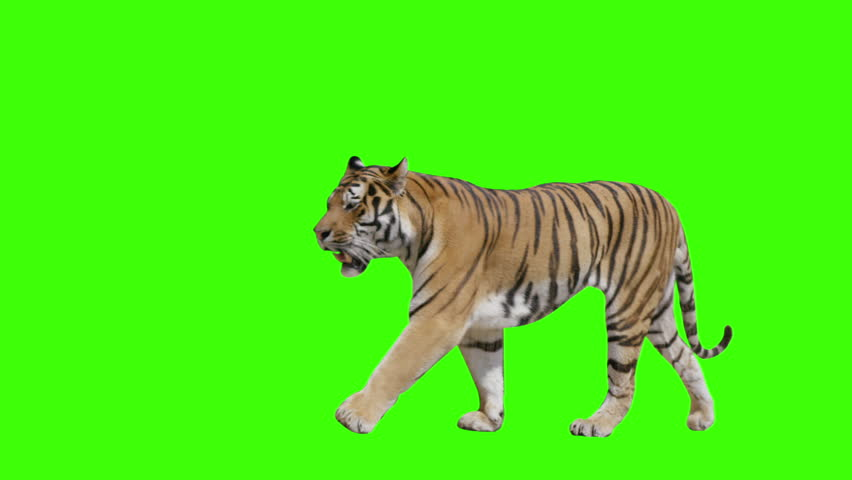 Tiger walking across the frame on green screen. Shot with Red Dragon. Alpha channel included.