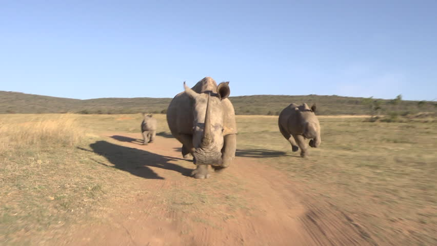 A fast paced exhilarating tracking shot of rhinos running towards vehicle and then stopping in the dust.