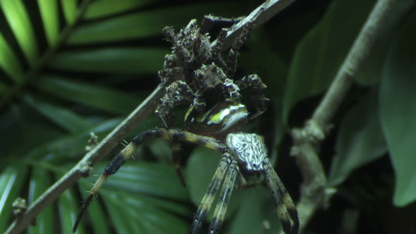 Portia Spider eating a St Andrew's Cross Spider on a branch | Shutterstock HD Video #7291147