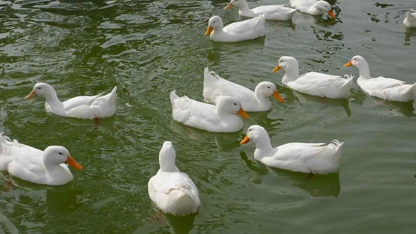ducks swimming on the - photo #23