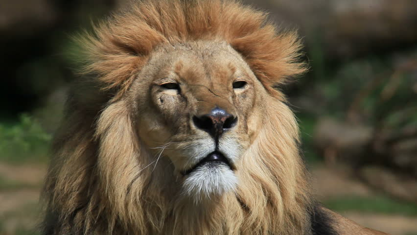 Lion | Shutterstock HD Video #732433