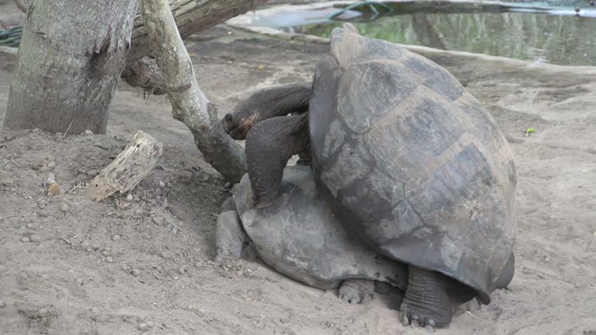 The Galpagos tortoise mating at Isabela, Galapagos Islands, Ecuador - HD stock video clip