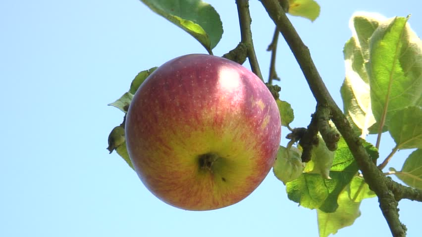 HD 1080i: Red apple hanging on a tree. Tripod. - HD stock footage clip