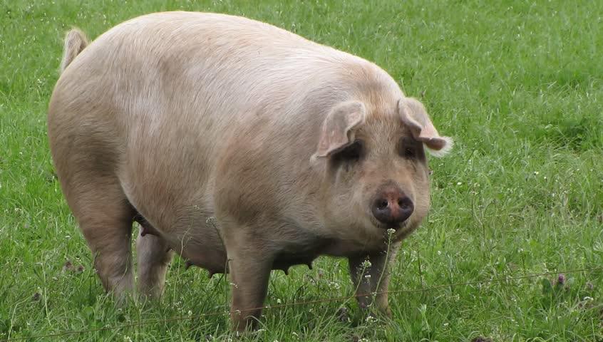 Pig feeding grass - HD stock footage clip