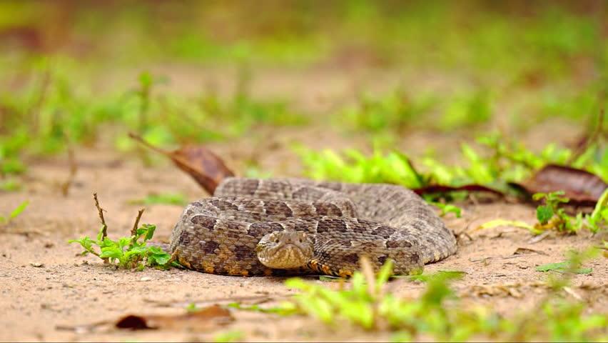 Shallow view of Brazilian Jararaca snake / Bothrops jararaca, very dangerous