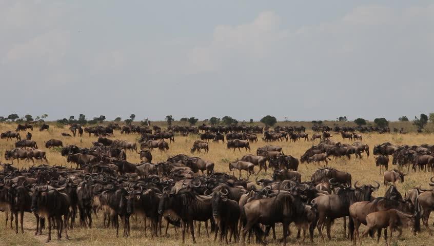 Migration Of Wildebeest  Masai Mara. Kenya.  - HD stock video clip