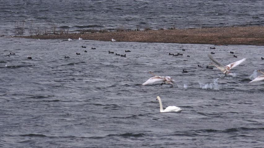 Birds Swans Flying taking off from water natural backgrounds -  Chase Water, Staffordshire, England - October 2014 - 4K stock video clip
