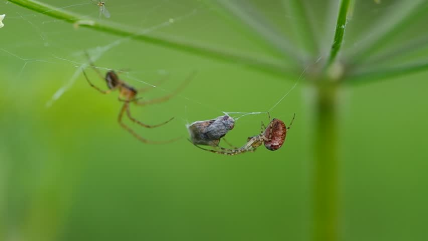Two spiders on a spider web and caught a fly