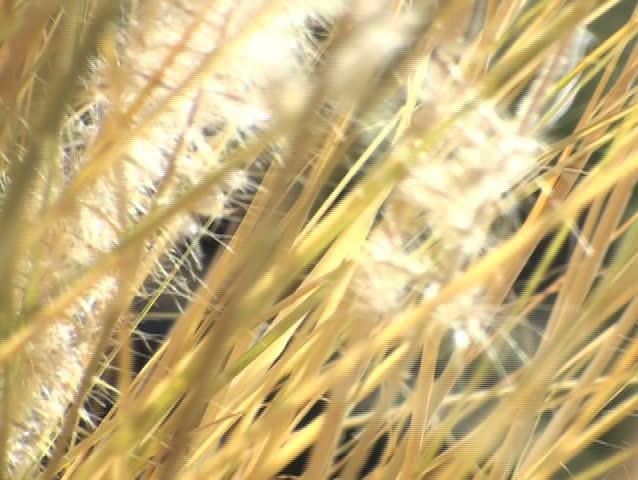 Reeds V3 - NTSC - SD stock footage clip
