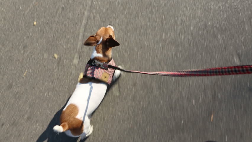 Little funny dog ??while walking on a leash. The view from the hands of the owner. Stylish plaid vest - HD stock footage clip