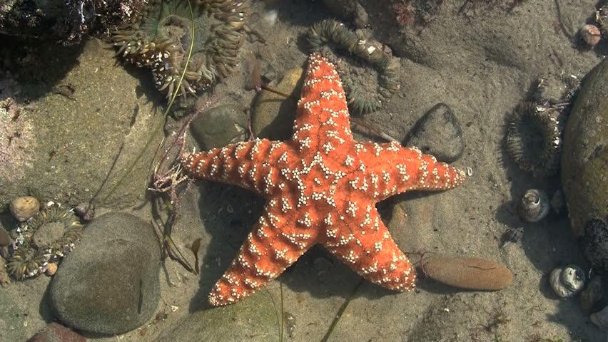 Orange Starfish In Pacific Tide Pool - HD stock video clip