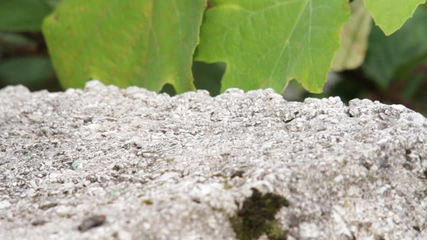 Footage of a lizard appearing on a stone/I heard something - HD stock footage clip