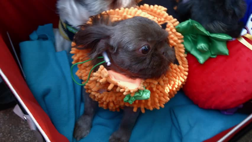 NEW YORK - OCTOBER 26, 2014: Video from The 24th Annual Tompkins Square Halloween Dog Parade  in New York City - HD stock video clip