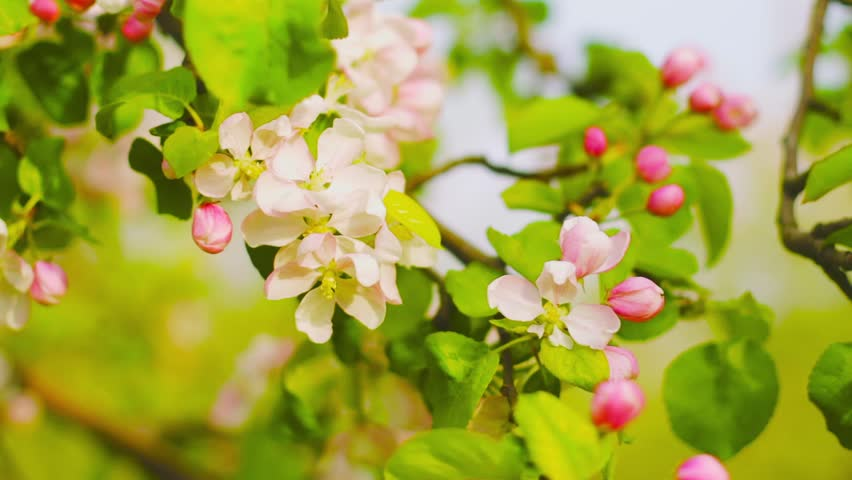 Blooming apple tree | Shutterstock HD Video #7751335