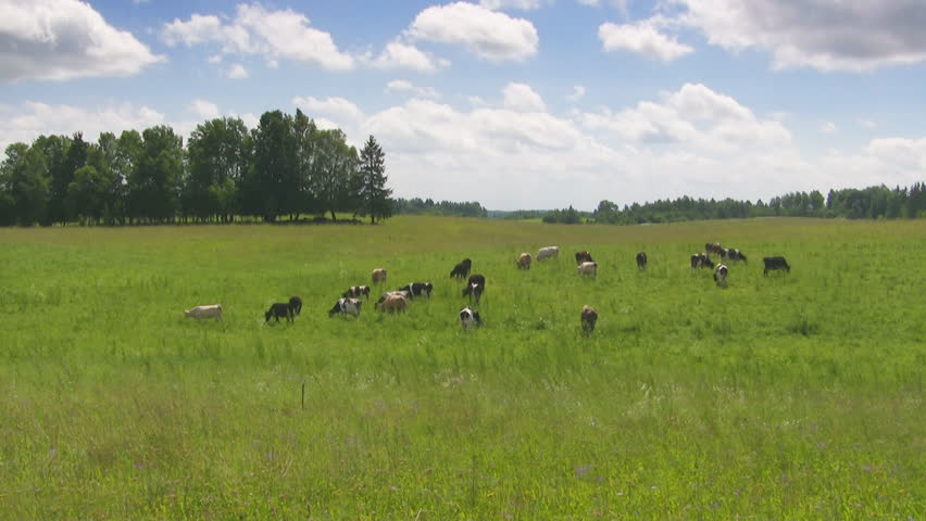 cows in the meadow, time lapse - HD stock video clip